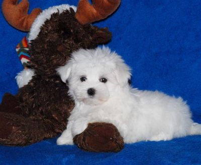 lovely maltese puppies for adoption