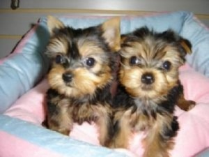 Gorgeous Male and Female T-Cup Yorkshire Terriers