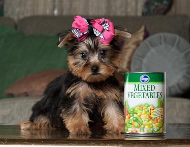 sweet,adorable,yorkie puppies!