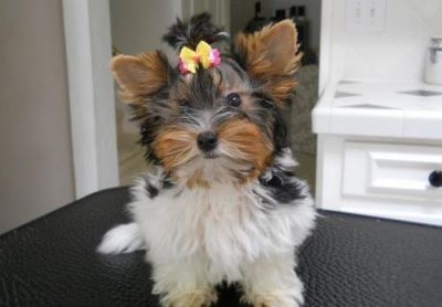 Wow:Healthy Charming, and adorable yorkie puppies Available