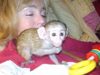 HOME TRAINED BABY CAPUCHIN MONKEYS FOR ADOPTION