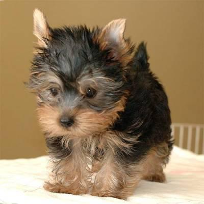 Sweet Female Yorkie Puppy for good homes