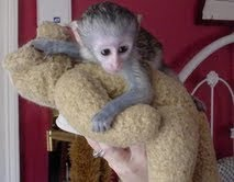 Cute And Lovely Baby Capuchin Monkey for MASS