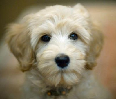 Charming poddle puppy available for adoption