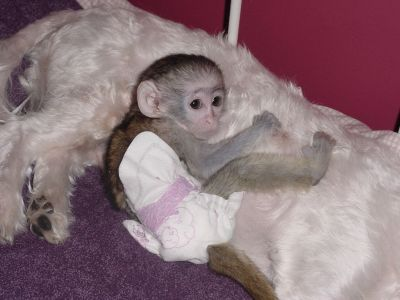 home raised capuchin monkey babies for free re-homing