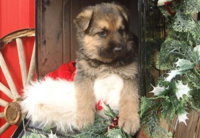 Enjoyable and lovely German Shepherd Dog puppies  are now available for good homes.