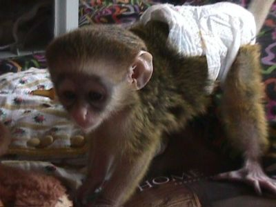 GORGEOUS  CAPUCHIN BABY MONKEYS FOR RE-HOMING