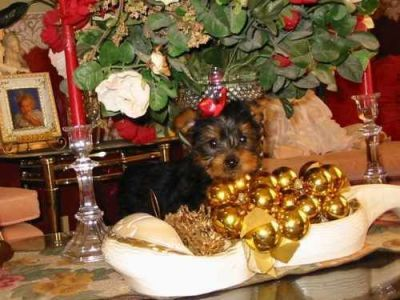 akc registered male and female teacup yorkie puppies for free rehoming