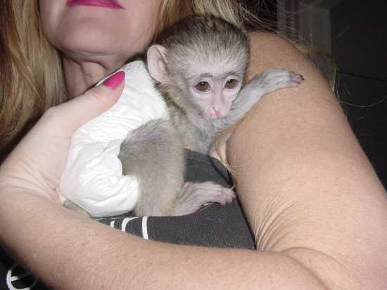 Healthy Capuchin Monkeys For Adoption