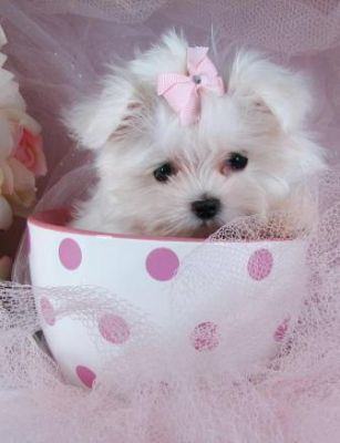 Cute And Adorable Teacup Maltese Puppies For Free Adoption.( markrichter61@yahoo.com)