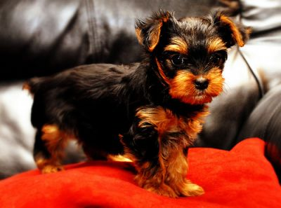 Two Healthy Tea cup Yorkie puppies for adoption