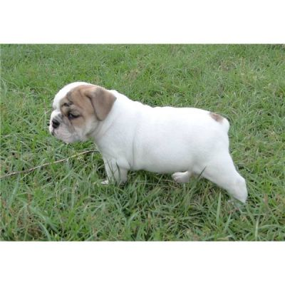 male and female english bulldog puppies for adoption.