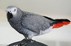 African Grey for Sale