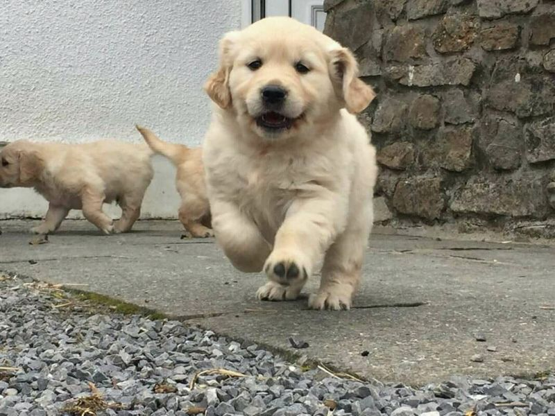 Sweet Golden retriever pups for sale