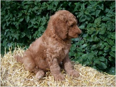 Charming AKC standard poodle needs good home