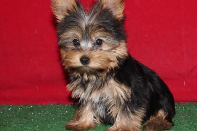 Top Quality Yorkshire Terrier Puppies For Sale
