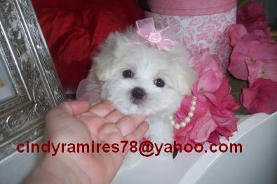 Gorgeous Male and Female Teacupm Maltese Puppies for adoption