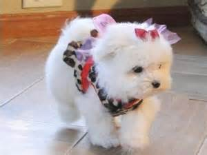 Beautiful white Maltese Puppies