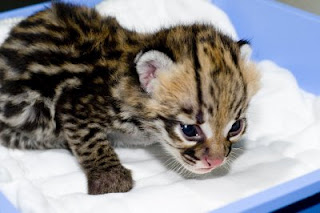 ocelot kittens, caracals and margay kittens for sale.
