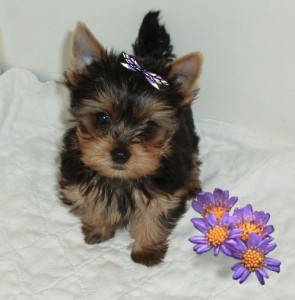 Cute and loving Yorkie puppies for adoption.