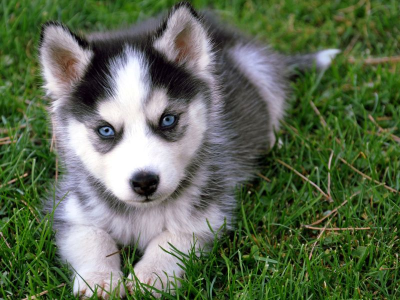 Quality Siberian Husky Puppies With Blue Eyes