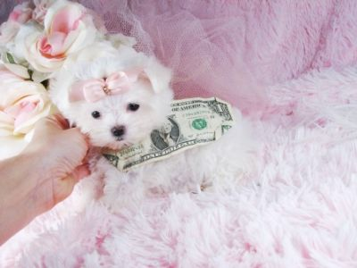 Lovely Male and Female Teacup Maltese Puppies For adoption