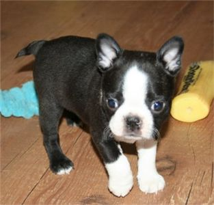 well trained male and female Boston terrier puppies for sale