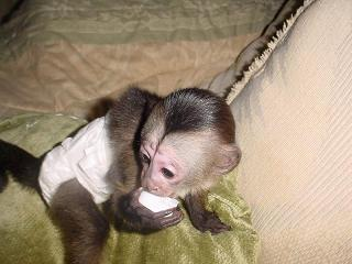 Baby Capuchin monkeys available