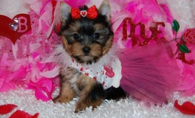 *********Quality Yorkshire Terrier puppies Ready*******