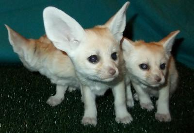 Cute Fennec Foxes for sale