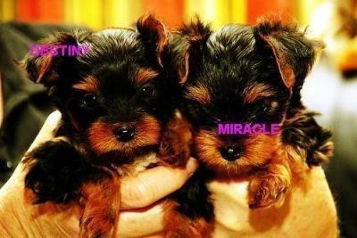 Excellent cute teacup yorkie puppies available for free adoption