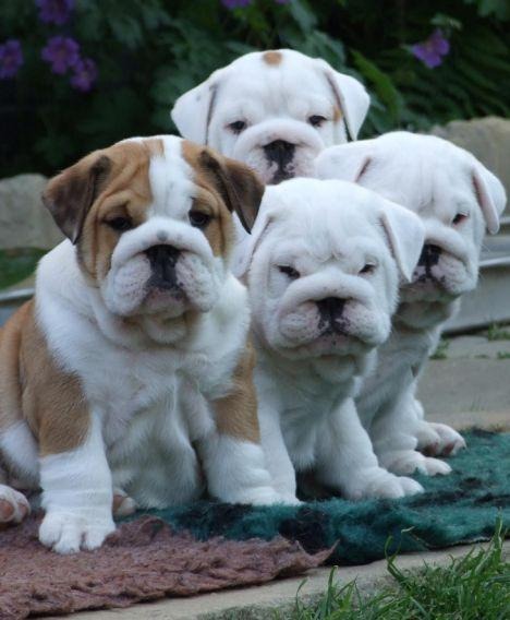 Affectionate English Bulldog Puppies