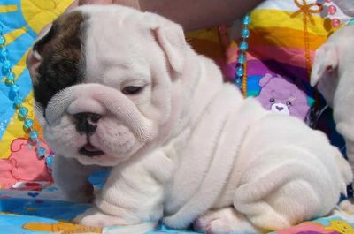 Stunning Home Train English Bulldog Puppies