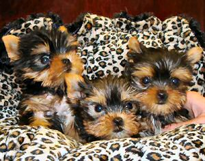 HEALTHY TRAIN WELL TAMED TEACUP YORKIE PUPPIES FOR FREE ADOPTION