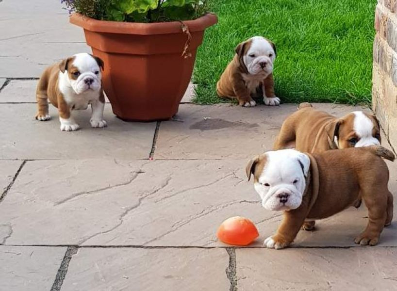 Cute male and female English Bulldog puppies