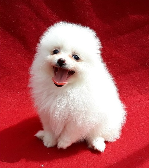Super cute male and female Pomeranian puppies for rehoming