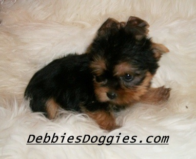 AKC Tiny Puppies @ debbiesdoggies.com