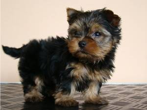Yorkshire Terrier Puppies available now