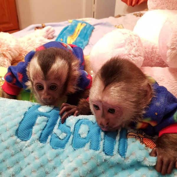 Registered baby face Capuchin monkey available