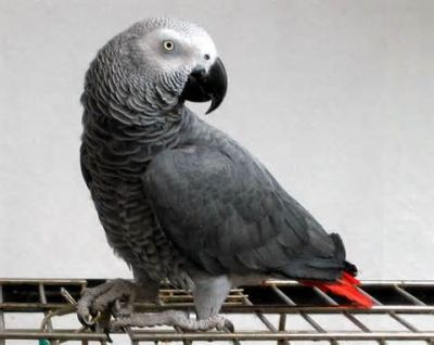 cute Africa parrots for free adoption