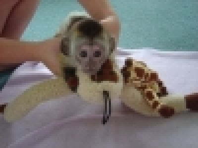 Healthy Capuchin,Marmoset,Squirrel and Spider Monkeys Available