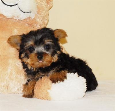 adorable yorkie puppies for free adoption..a