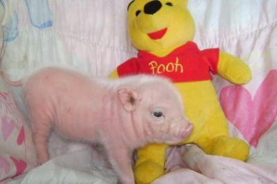micro teacup pigs for adoption