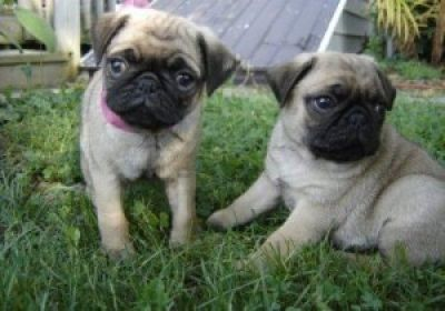 AKC Pug Puppies Available Text me at (515)602-7397