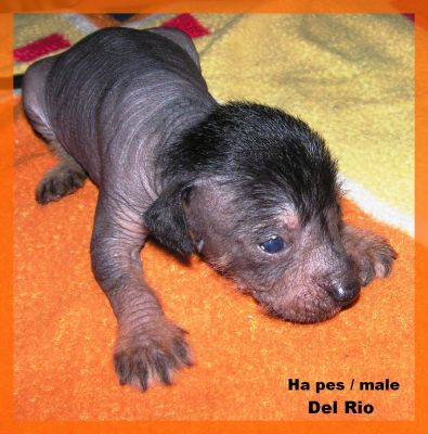 peruvian hairless dog small