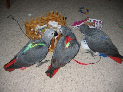 african grey parrots for sale 280euro.>>