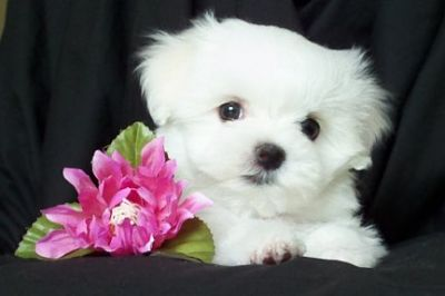 Cute Maltese Puppies For Adoption.