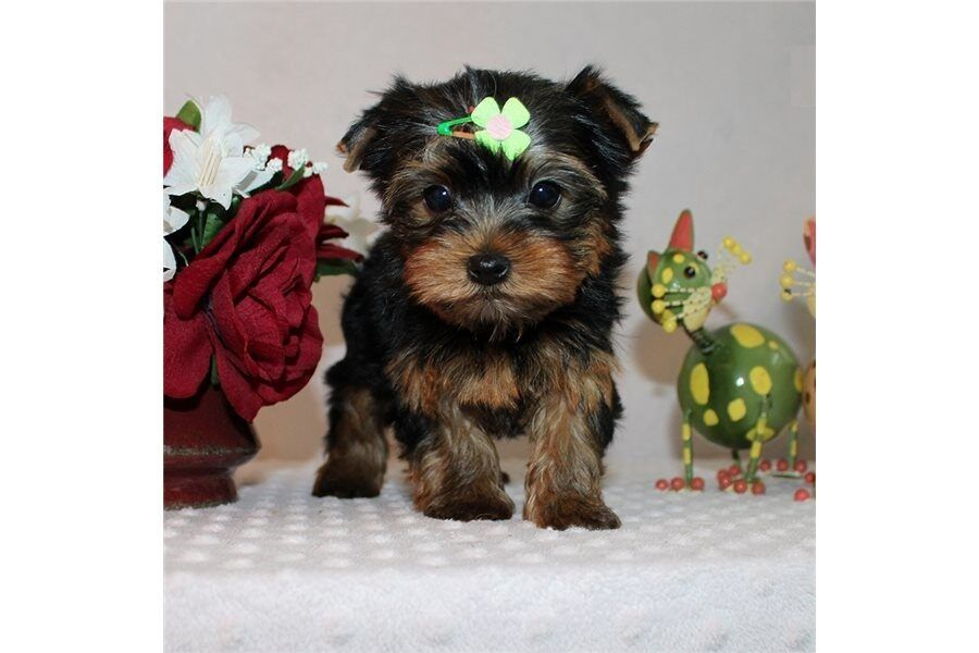 OutStanding Cute Akc Register Yorkie Puppies