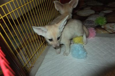 Awesome Fennec foxes for Ready
