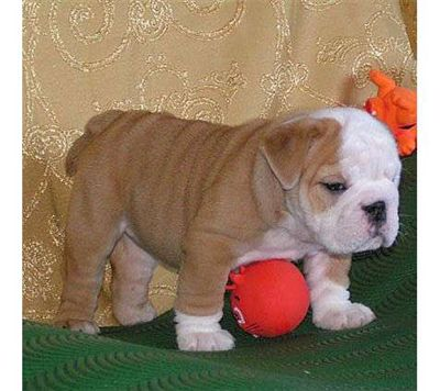 cute and home train english bulldog puppies